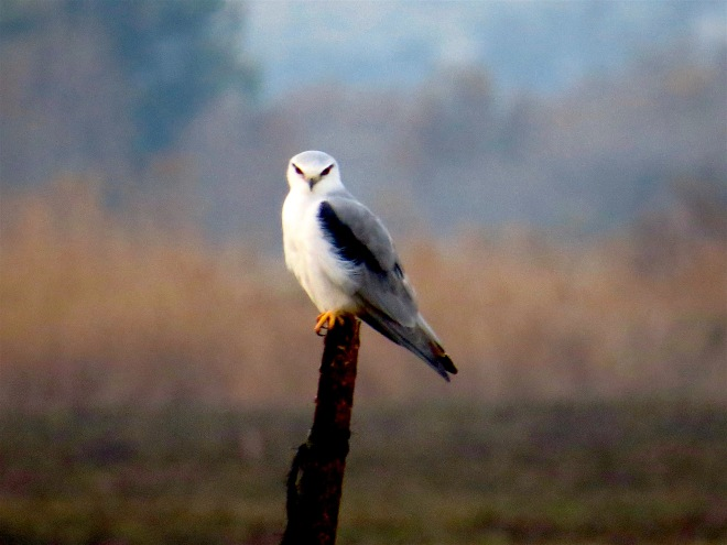 Black Shouldered Kite.jpg