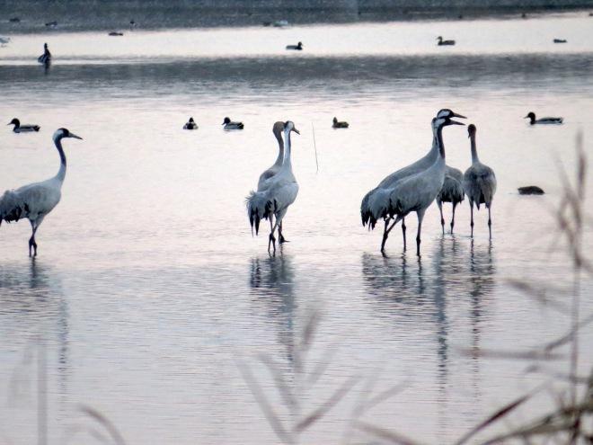 cranes in water 2