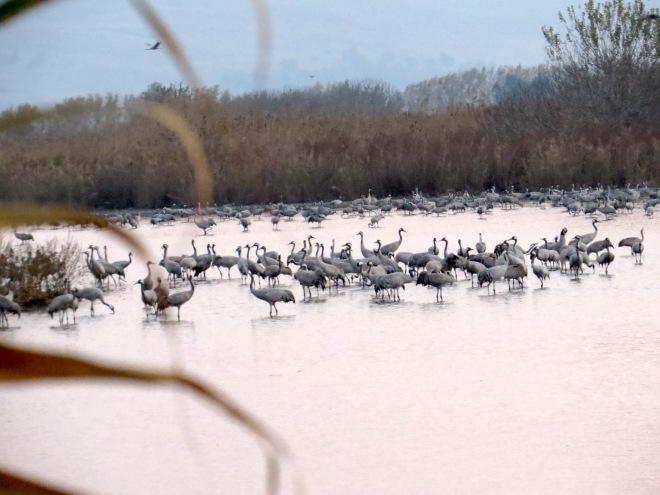 cranes in water 3