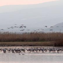 cranes in water 4