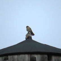 kestrel on water tower 2