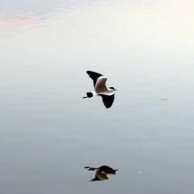 lapwingsonwatercrop