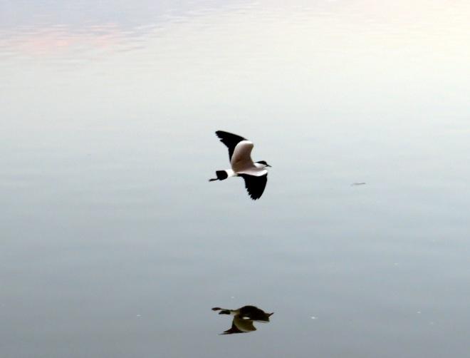lapwingsonwatercrop.jpg