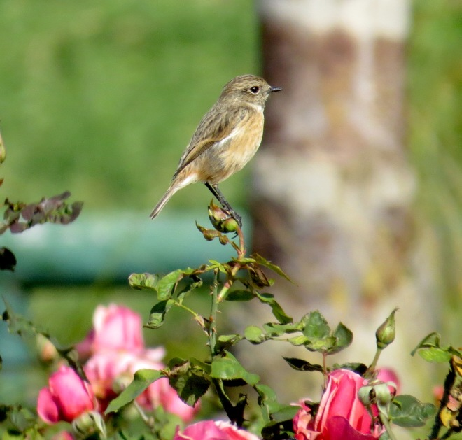 stonechat on roses.jpg
