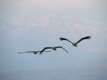 three cranes in flight