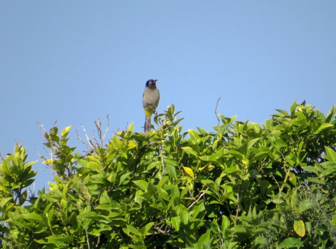 white spectacled bulbul popping out of trees